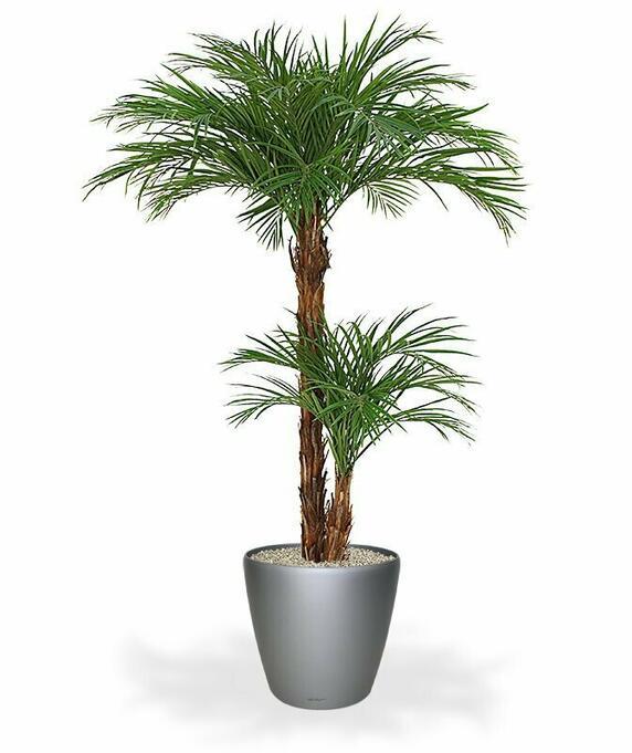 Palma Areca - jedinečnosť a elegancia