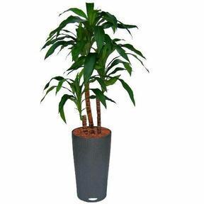 Umělá rostlina Dracena 90 cm