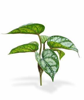 Umělá rostlina Fitónie 20 cm
