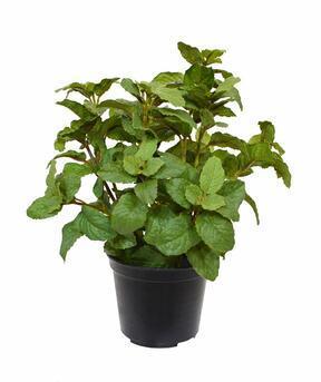 Umělá rostlina Máta 25 cm