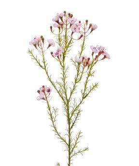 Umělá větev Chamelaucium uncinatum růžová 65 cm