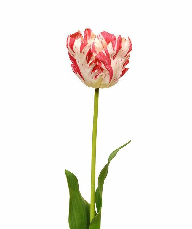 Umělý květ Tulipán červeno-bílý 70 cm